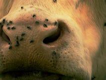 Detalhe do focinho branco da vaca As moscas de irritação sentam-se ou correm-se na pele da vaca Vaca branca que pasta i Foto de Stock