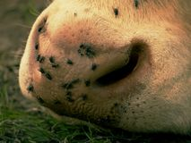 Detalhe do focinho branco da vaca As moscas de irritação sentam-se ou correm-se na pele da vaca Vaca branca que pasta i Fotos de Stock