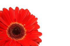 Detalhe do Gerbera no branco Fotografia de Stock Royalty Free