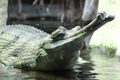 Detalhe do indiano de Gavial fotografia de stock