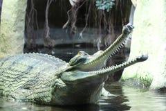 Detalhe do indiano de Gavial foto de stock