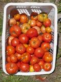 Detalhe do jardim de cesta de tomates do Beefsteak Fotos de Stock