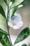 Detalhe do macro da flor branca Fotografia de Stock Royalty Free