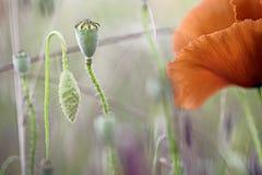 Detalhe do macro do prado do wildflower da papoila Imagem de Stock Royalty Free