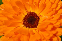 Detalhe do marigold de potenciômetro Foto de Stock