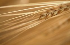Detalhe do milho Foto de Stock Royalty Free