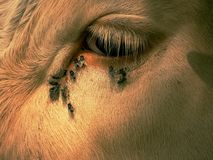 Detalhe do olho branco da vaca com muitas moscas de irritação As moscas sentam-se ou correm-se no olho da vaca Sono branco da vac fotos de stock royalty free
