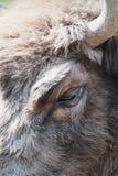 Detalhe do olho do bisonte europeu Fotografia de Stock