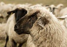 detalhe do sepia dos carneiros Fotos de Stock Royalty Free