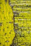 Detalhe do tronco de árvore do parasol chinês Fotografia de Stock