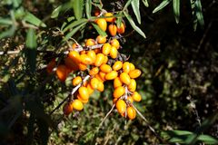 Detalhe dos rhamnoides e dos frutos de Hippophae - outubro foto de stock