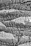 Detalhe e textura da casca de palmeira Imagem de Stock