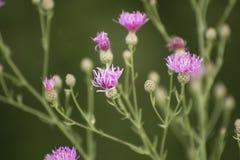 Detalhe focalizado macio bonito de flores roxas em um campo imagens de stock