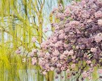 Detalhe a foto de flores da flor de cerejeira e da árvore de salgueiro japonesas Fotos de Stock Royalty Free