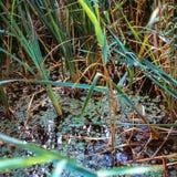 Detalhe imperial da lagoa Fotografia de Stock Royalty Free