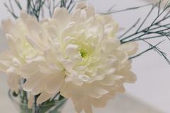Detalhe liso da flor branca do crisântemo foto de stock royalty free