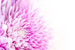 Detalhe macro de flor de florescência colorida com fundo branco Fotos de Stock