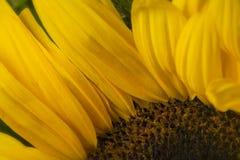 Detalhe macro de girassol, no jardim do verão imagem de stock