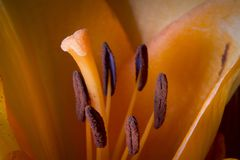 Detalhe macro de girassol, no jardim do verão Detalhe macro de lírio alaranjado, flor do casamento fotografia de stock royalty free