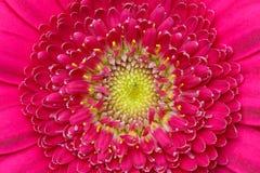 Detalhe macro de uma flor cor-de-rosa do gerber Fotografia de Stock Royalty Free