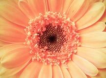 Detalhe macro de uma luz do vintage - flor cor-de-rosa do gerber da cor Fotos de Stock Royalty Free