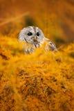 Detalhe o retrato da cara do pássaro, os olhos alaranjados grandes e a conta, Eagle Owl, bubão do bubão, animal selvagem raro no  Fotografia de Stock