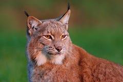 Detalhe o retrato do lince, com luz bonita da noite Cena dos animais selvagens com o gato selvagem de Europa Lince selvagem do ga Imagens de Stock
