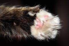 Detalhe o tiro macro do fundo preto das patas macias do gato imagens de stock royalty free