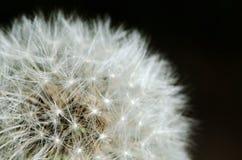 Detalhe passado do dente-de-leão da flor Imagem de Stock Royalty Free