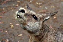 Detalhe principal do canguru Fotos de Stock