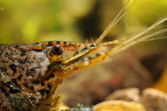 Detalhe principal do close-up das lagostas Foto de Stock