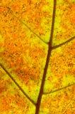 Detalhe retroiluminado da folha do carvalho branco Fotos de Stock Royalty Free