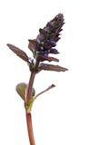 Detalhe roxo da flor Fotografia de Stock
