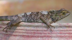 Detalhe tomando sol do close up do lagarto do jardim de Agamid do lagarto vídeos de arquivo