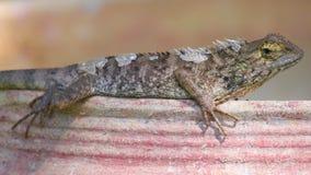 Detalhe tomando sol do close up do lagarto do jardim de Agamid do lagarto video estoque
