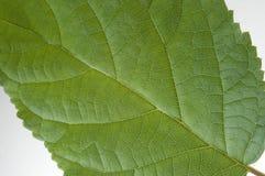 Detalhe verde da folha Fotos de Stock Royalty Free