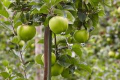 Detalhe verde das maçãs em uma árvore Fundo da horticultura Agricult foto de stock royalty free