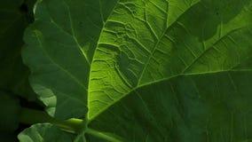 Detalhe verde Sun da folha do ruibarbo vídeos de arquivo