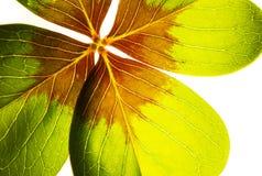 Detalhe vermelho e verde colorido da folha do trevo Foto de Stock Royalty Free