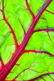 Detalhe vermelho orgânico da folha da acelga suíça Imagens de Stock Royalty Free