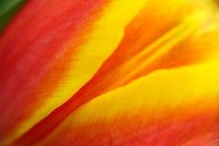 Detalhes abstratos de flor vermelha, amarela e alaranjada da tulipa sob a foto macro do close-up alto da ampliação com DOF muito  imagem de stock royalty free