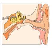 Detalhes anatômicos da orelha interna ilustração do vetor