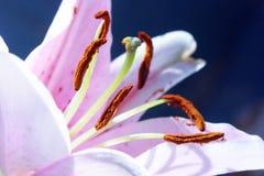 Detalhes cor-de-rosa do lírio Fotos de Stock