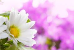 Detalhes da flor branca Foto de Stock Royalty Free