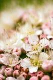 Detalhes da inflorescência da mola Fotos de Stock