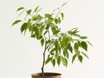 Detalhes de árvore do ficus Imagem de Stock Royalty Free