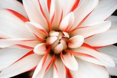 Detalhes de branco, de rosa e de fim macro da flor vermelha da dália acima da fotografia Cabeça floral da dália no centro como o  imagem de stock