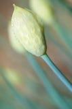 Detalhes de flor em botão Imagem de Stock Royalty Free