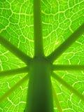 Detalhes de folha da papaia com haste Fotografia de Stock