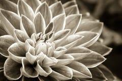 Detalhes de fotografia macro do sepia da flor fresca da dália imagens de stock